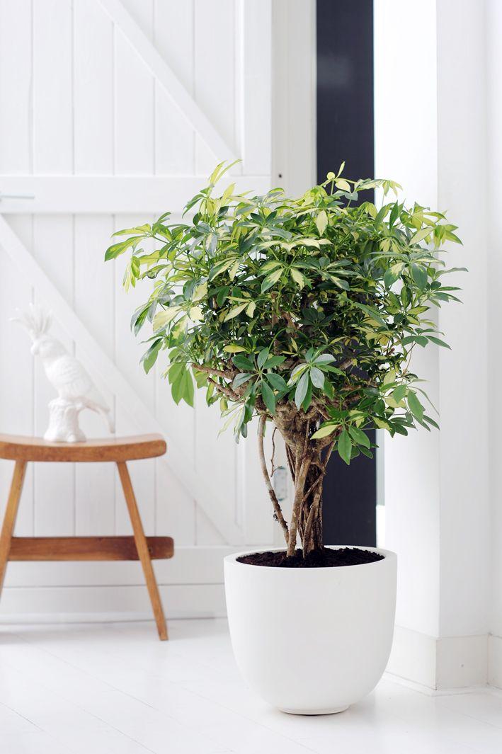 how to grow bush weed indoors